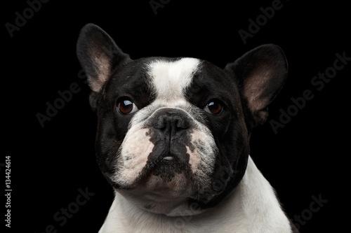 Poster Bouledogue français Close-up headshot of White French Bulldog Dog isolated on black background