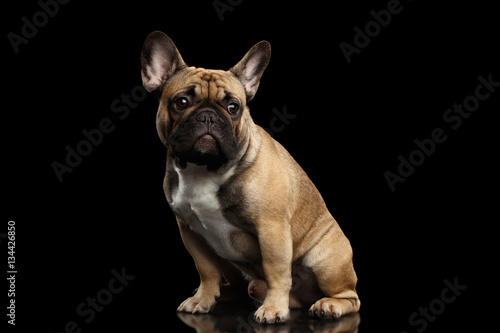 Montage in der Fensternische Französisch bulldog Fawn French Bulldog Dog Sitting and Looks sad on isolated black background, side view