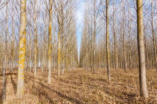 Bosque de Chopos canadienses. Populus canadensis. © LFRabanedo