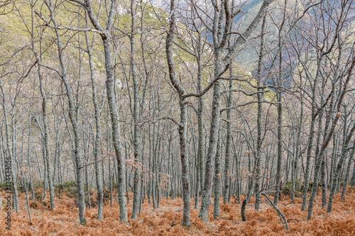 Bosque de robles y helechos en invierno. Ruta de los canales romanos del Oza. El Bierzo, León, España. © LFRabanedo