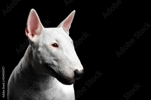Valokuva Close-up portrait of White Bull Terrier Dog Looking side on isolated black backg