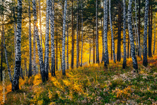 Cadres-photo bureau Bosquet de bouleaux Autumn Sunset in the Siberian taiga.