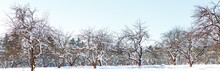Panorama Of Snowy Apple Orchard In Winter