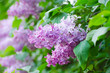 Branch of lilac flowers with green leaves, floral natural macro background, soft focus
