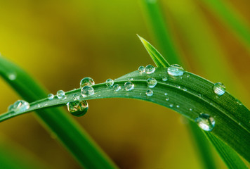 Grops of dew on grass