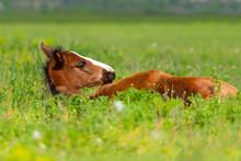 Bay Foal Sleeping In Spring Pasture