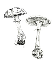 Amanita Sketch Ink, Poisonous ...