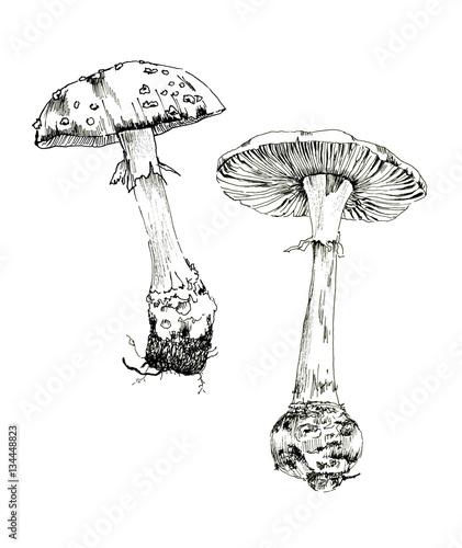 Amanita sketch ink, poisonous mushrooms, vintage style botanical illustration, m Wallpaper Mural