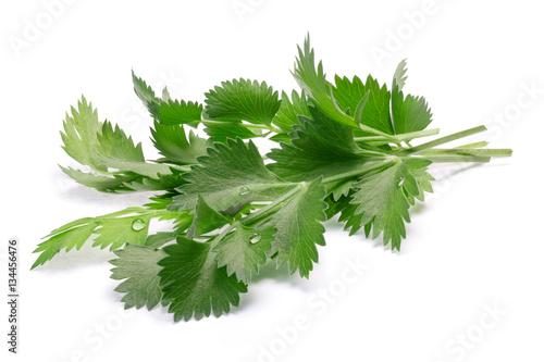 True anise (Pimpinella anisum) leaves, paths Canvas Print