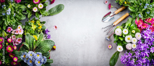 Fototapeta Floral gardening background with variety of colorful garden flowers and gardening tools on concrete background, top view, place for text, banner obraz
