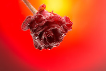 Gift Card Rose Covered With Bubbles Isolated On A Gradient Red B
