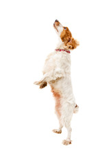 Russian Spaniel Jump Isolated ...