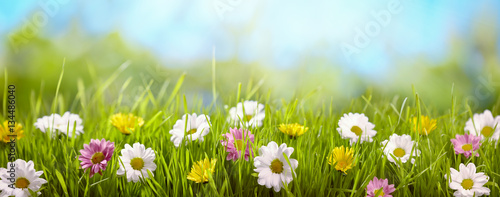 Foto op Canvas Madeliefjes Spring flower in the meadow