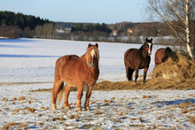 Horses On Field In Winter