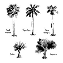 Set Of Hand Drawn Tree Sketches - Royal Palm, Sabal Palmetto, Palma Barrigona, Brahea, Copernicia. Black Silhouettes Isolated On White Background. Tropical Flora. Vector Illustration.