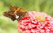 Silver-spotted Skipper Butterf...