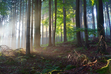 Sun rays in a fog in a misty morning green forest. Osnabruck, germany