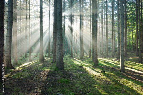 Poster Kaki Sun rays in a fog in a misty morning green forest. Osnabruck, germany