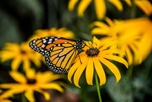 A Monarch Butterfly On A Black-Eyed Susan Flower