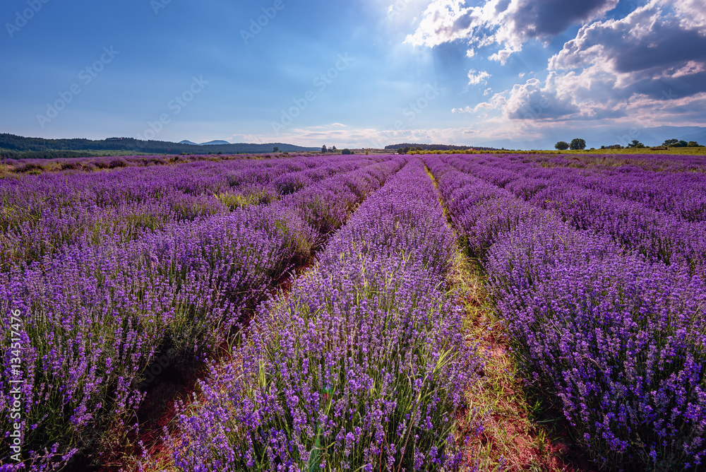 Fototapeta Daily cloudy landscape with lavender in the summer at the end of June. Contrasting colors, beautiful clouds, dramatic sky. - obraz na płótnie