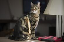 Portrait Of A Beautiful Tabby ...