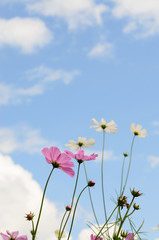 cosmos flower pink color bloom in garden,beuatyful daisy and blu