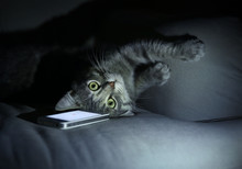 Cute Funny Cat With Mobile Phone On Sofa At Home