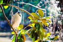 Black Crowned Night Heron In A Magnolia Tree..