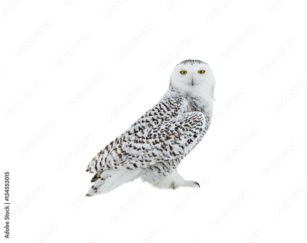 Snowy Owl Portrait on White Background, Isolated