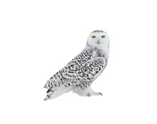 Snowy Owl Portrait On White Ba...