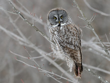 Great Gray Owl Perched In Trees, Portrait