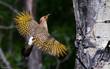 Leinwandbild Motiv Northern woodpecker