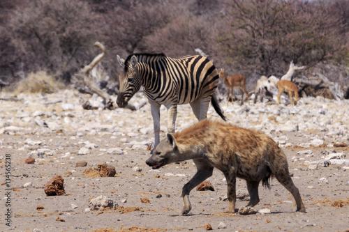 Poster Hyène Zebras and hyena in Etosha parc Namibia