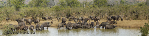 Staande foto Buffel African buffalo in Kruger National park, South Africa