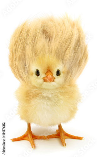 Valokuva  Crazy yellow chick with ridiculous hair