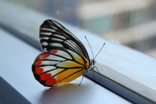 White-yellow-orange Jezebel Butterfly On The Window In The Morning.