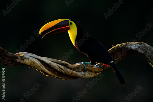 In de dag Toekan Chesnut-mandibled Toucan sitting on the branch in tropical rain with green jungle background. Wildlife scene from nature with beautiful bird with big bill. Toucan in the nature. Back sun light.