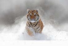 Tiger In Wild Winter Nature.  ...