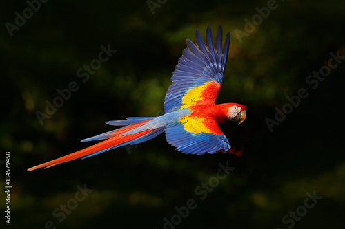 In de dag Papegaai Red parrot fly in dark green vegetation. Scarlet Macaw, Ara macao, in tropical forest, Costa Rica, Wildlife scene from tropic nature. Red bird in the forest. Parrot flight in the green jungle habitat.