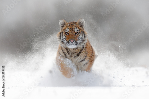 Tiger in wild winter nature.  Amur tiger running in the snow. Action wildlife scene with danger animal. Cold winter in tajga, Russia. Snowflake with beautiful Siberian tiger, Panthera tigris altaica