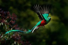 Flying Resplendent Quetzal, Ph...