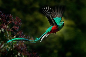 Flying Resplendent Quetzal, Pharomachrus mocinno, Savegre in Costa Rica, with green forest background. Magnificent sacred green and red bird. Action fly moment with Resplendent Quetzal. Birdwatching
