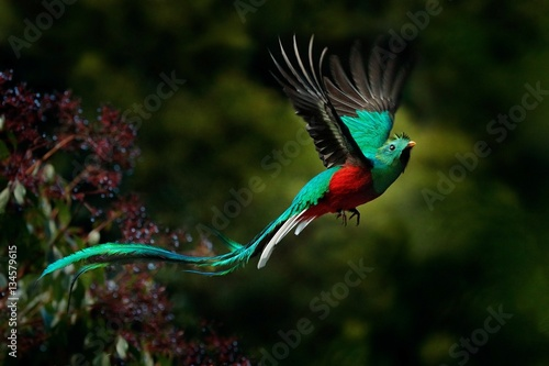 Poster Vogel Flying Resplendent Quetzal, Pharomachrus mocinno, Savegre in Costa Rica, with green forest background. Magnificent sacred green and red bird. Action fly moment with Resplendent Quetzal. Birdwatching