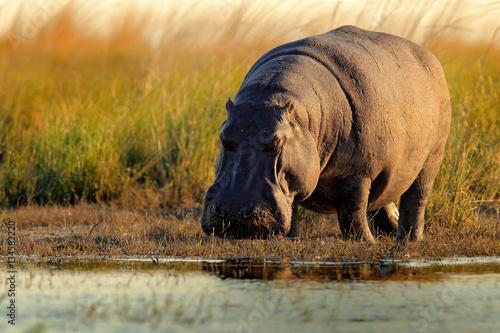 Fotografie, Tablou African Hippopotamus, Hippopotamus amphibius capensis, with evening sun, Chobe R