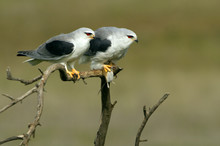 Adult Male And Female Of Black-shouldered Kite Passing A Prey In The Time Of Mating . Elanus Caeruleus