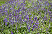 Beautiful Spring Background With Salvia Farinacea Benth, Purple Lavender Flower