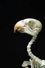 Ancient Parrot Skull
