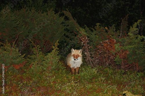 Valokuva  Лиса в ночном лесу.