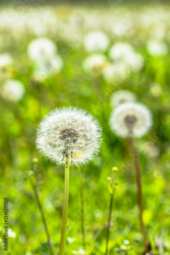 Fototapety, obrazy: Seeds of dandelions on meadow in spring with green blurred background