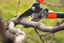 Gardener Pruning Fruit Trees W...
